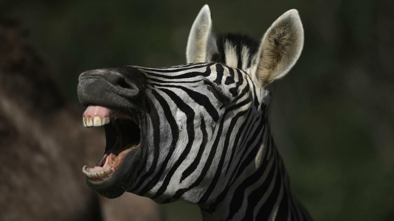 Приколы картинки зебра, рисунки