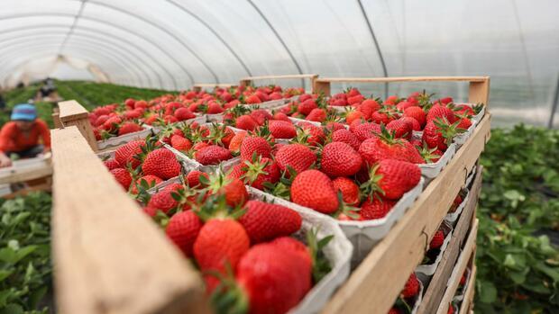 Berühmt Landwirtschaft: Deutsche Erdbeeren aus dem Folientunnel &MD_04