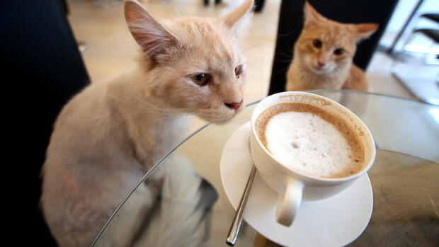 two cats sitting in the Cats Coffee House 'Neko' in Vienna, Austria, Quelle: dpa