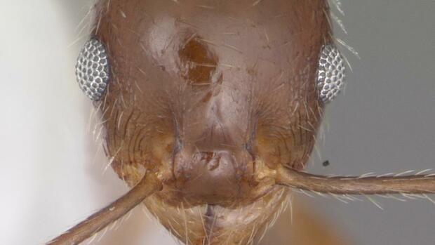Foto: Pheidole dentata von April Nobile - AntWeb.org. Via AntWiki Quelle: Wikipedia