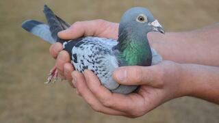 Taube als Statussymbol: Warum Chinesen Vögel für Zehntausende Euro kaufen