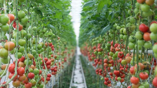 tomaten in der w ste agrarkonzern baywa will gew chsh user zum profittreiber machen. Black Bedroom Furniture Sets. Home Design Ideas