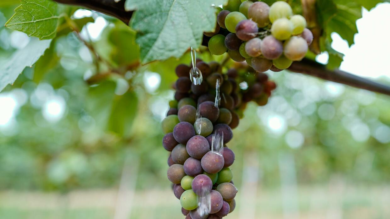 Corona und US-Strafzölle bremsen Weinexporte aus