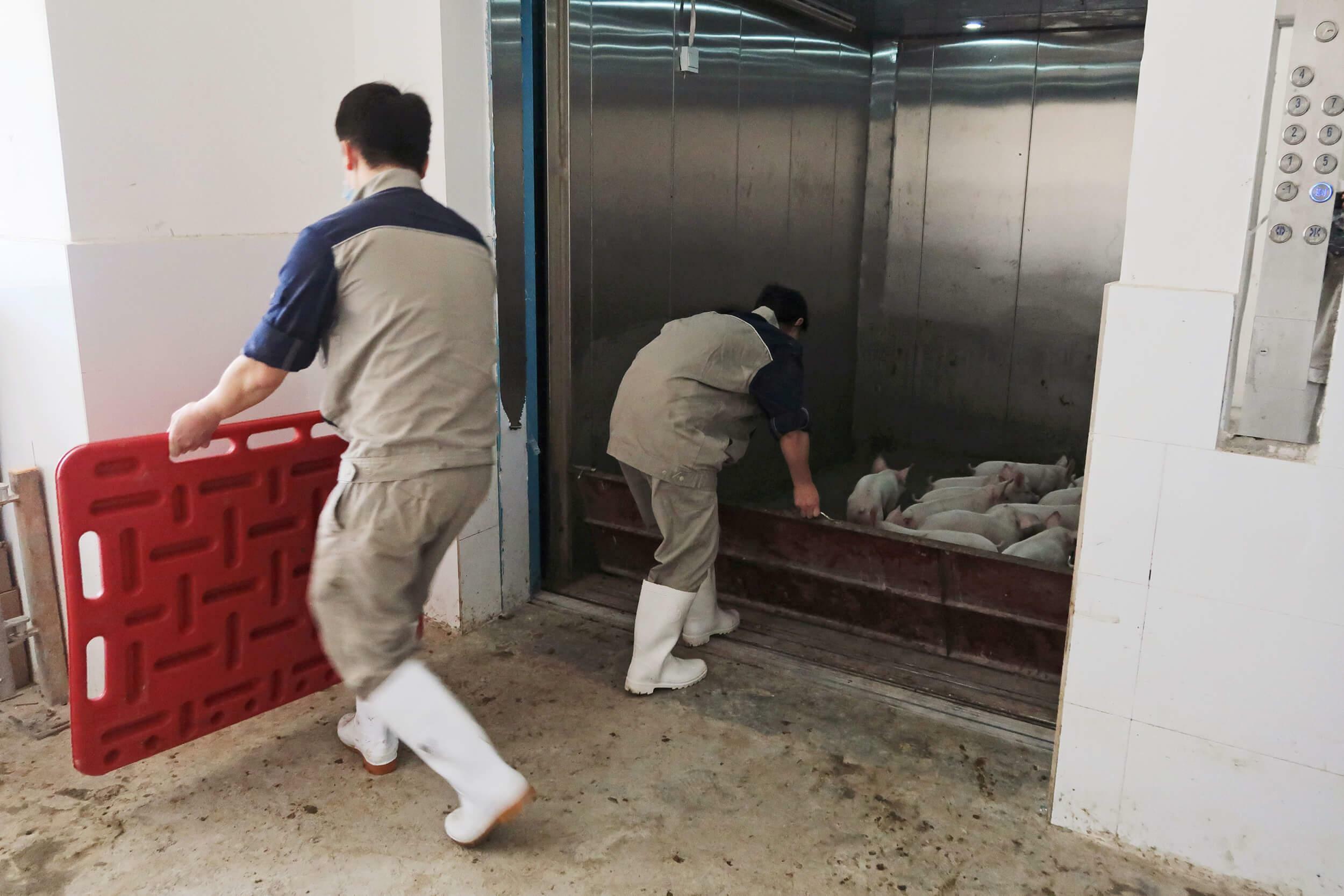 Schweinefarm Yangxiang: Aufzug zu den Ställen